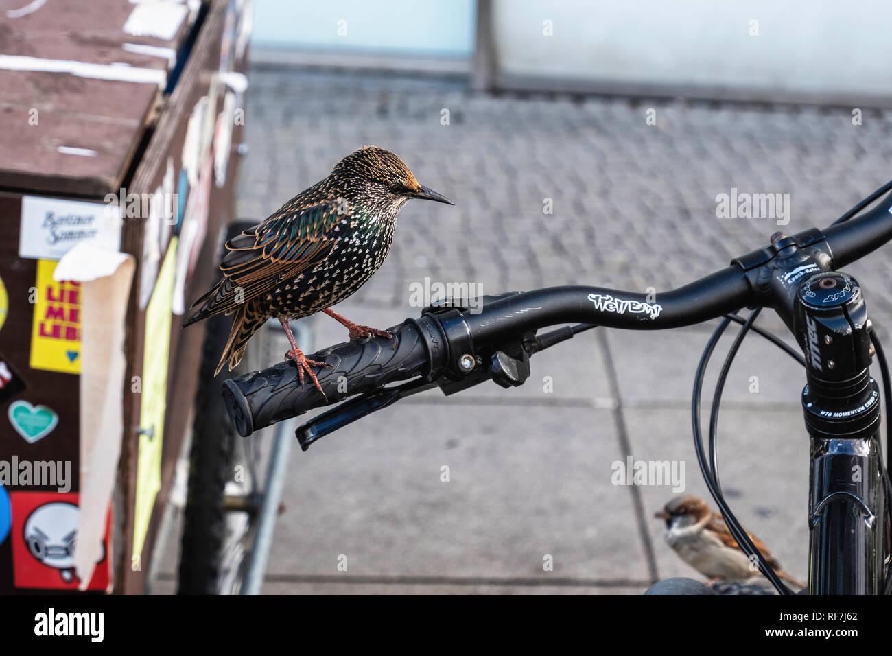 Urban bird, Common starling,sturnus vulgaris, sitting on the handlebars of a bicycle - Stock Image