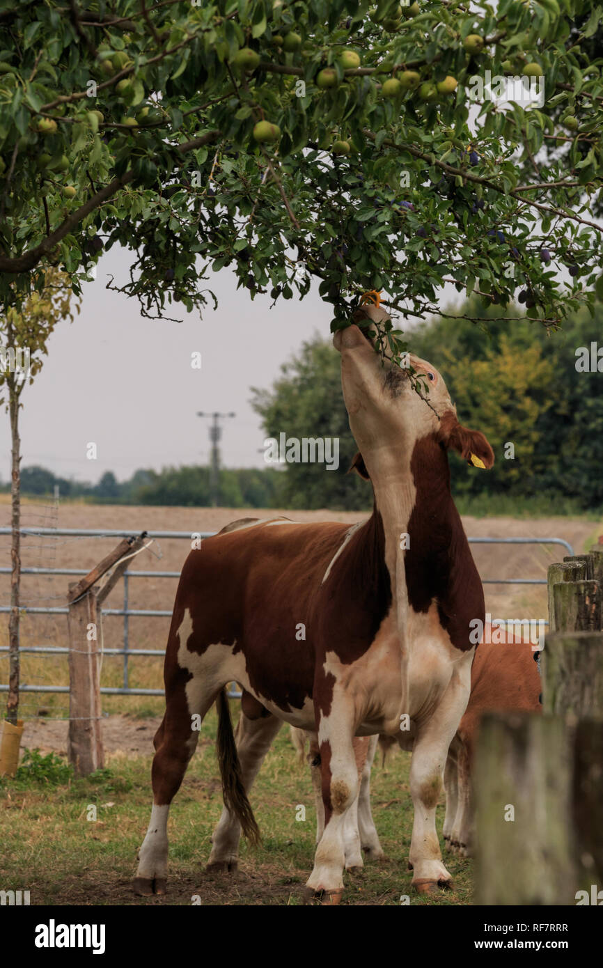 Bulle frisst am Obstbaum Stock Photo