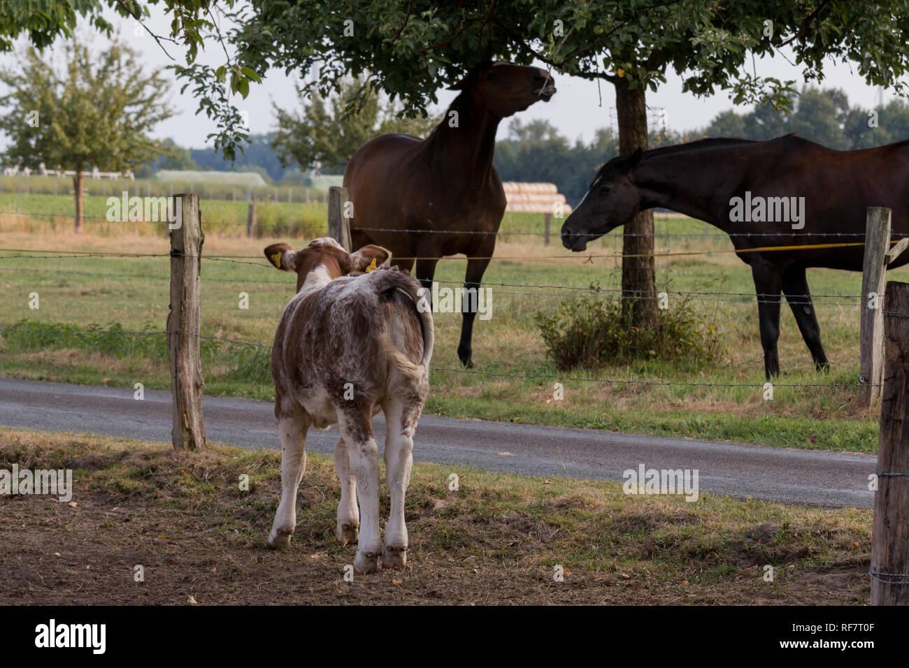 Kalb beobachtet Pferde - Stock Image