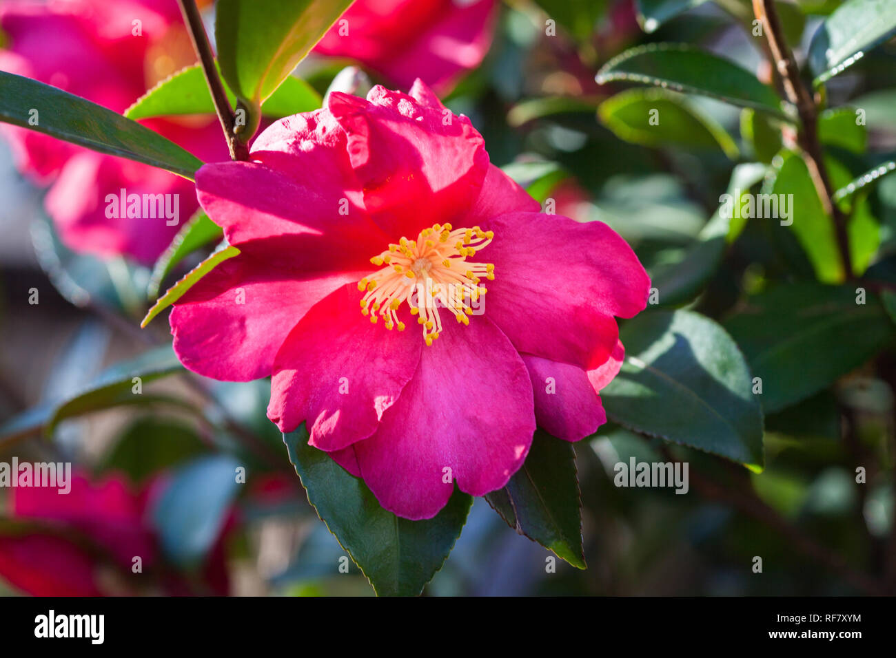 Fiori Gialli Con Pistilli Rossi.Flowering Camellia Plant With Vibrant Red Flowers Yellow Stamens