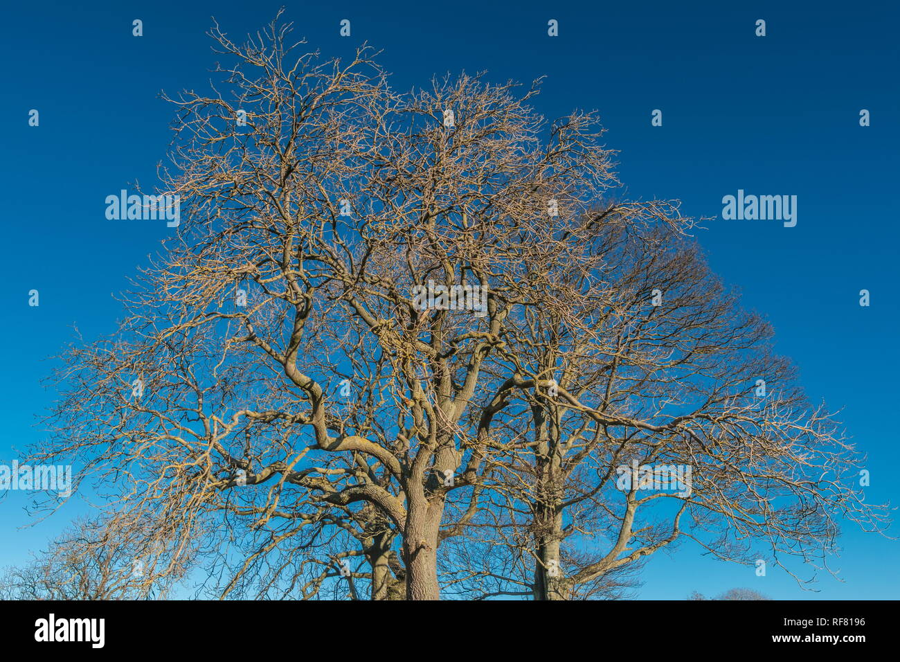 Silhouettes of two bare Ash trees and one bare Sycamore tree against a deep blue clear sky in strong winter sunshine Stock Photo