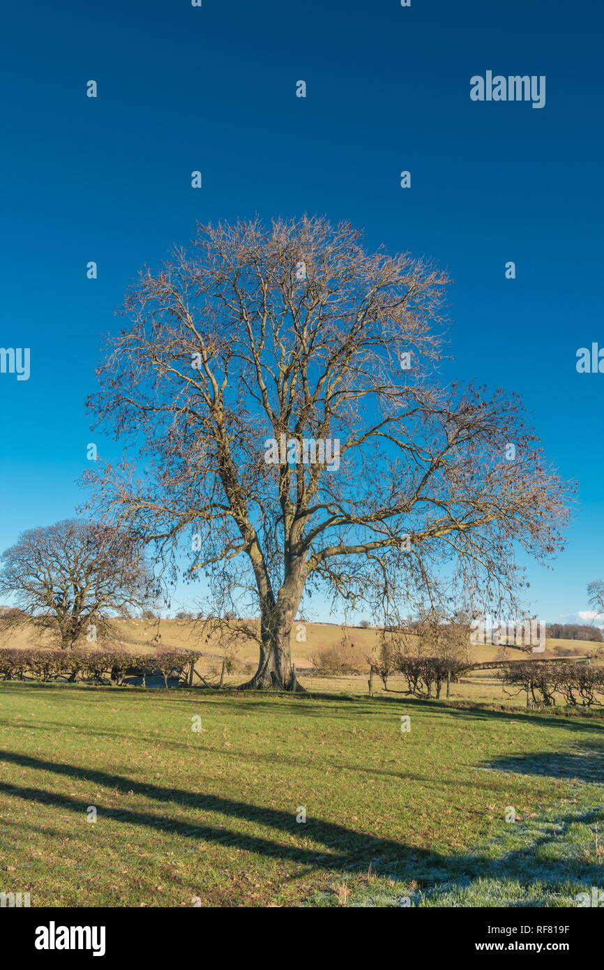Silhouette of a bare Ash tree against a deep blue clear sky in strong winter sunshine with copy space Stock Photo