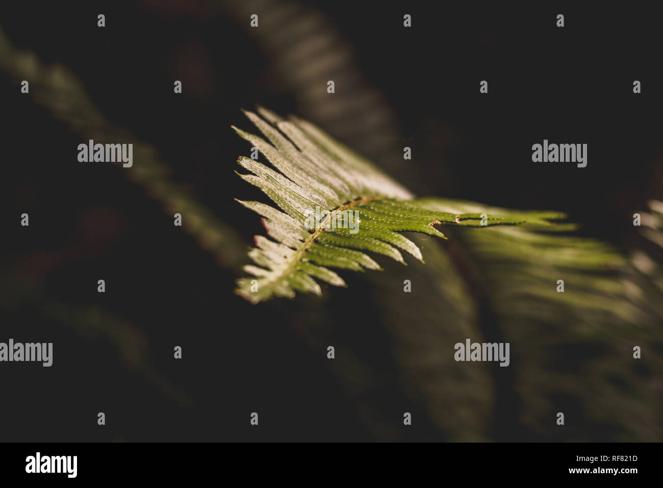 Fern Leaf against dark background in Muir Woods California - Stock Image