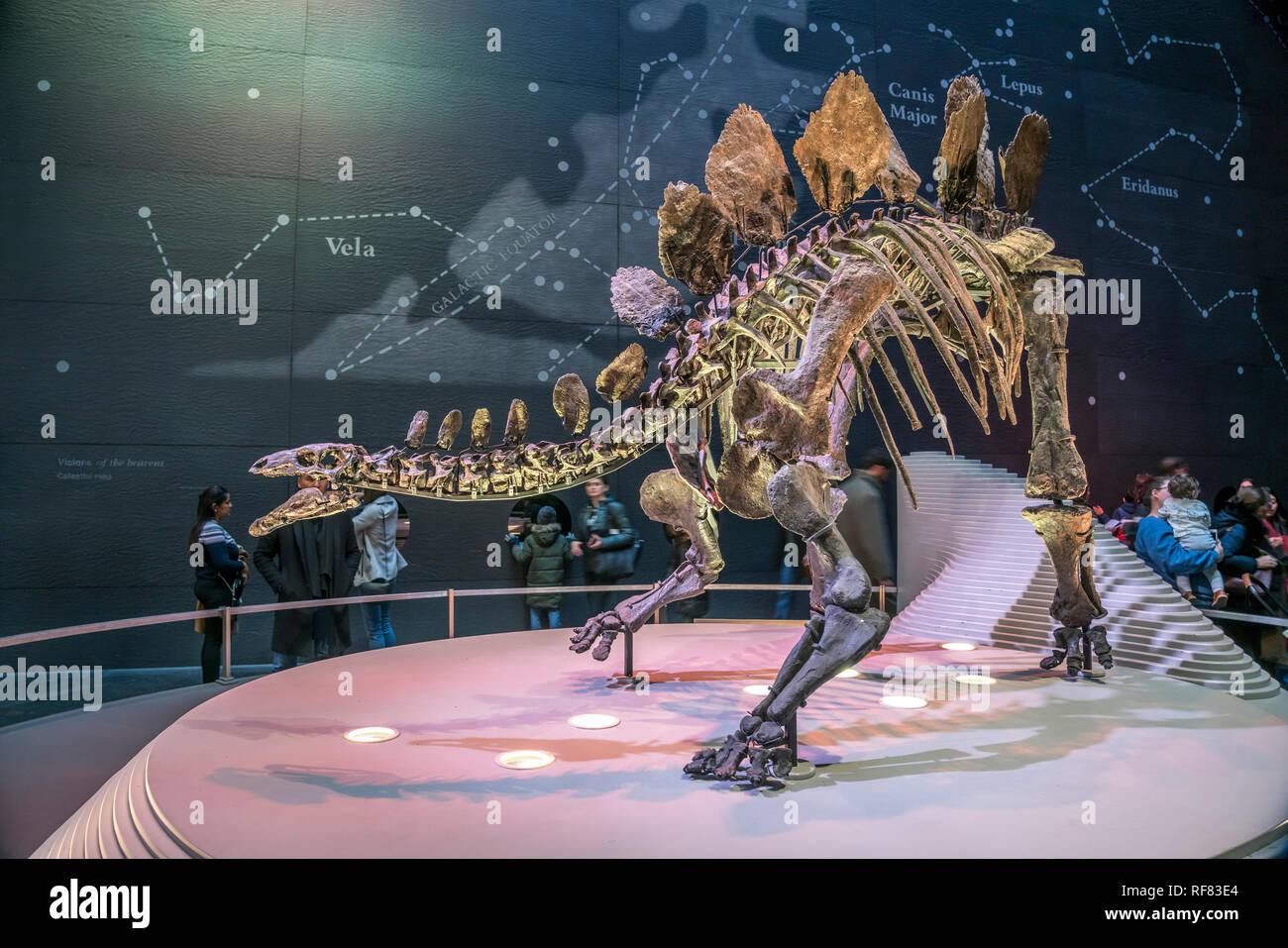 Dinosaurier Skelett,  Natural History Museum, London, Vereinigtes Königreich Großbritannien, Europa    Dinosaur skeleton, Natural History Museum, Lond - Stock Image