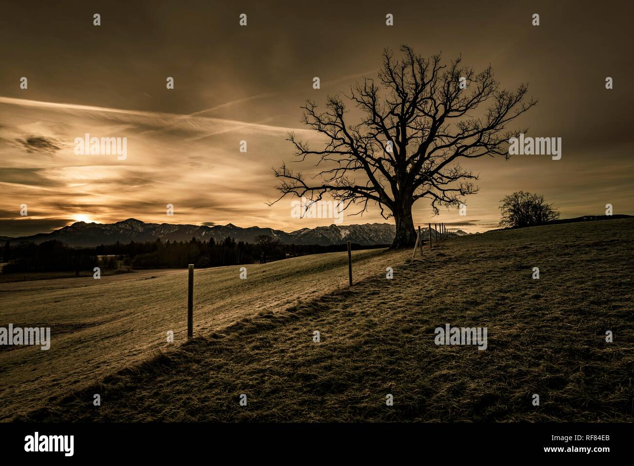 Leafless tree in front of a dramatic sky with Alpine chain in the background, Uffing, Staffelsee, Upper Bavaria, Germany - Stock Image