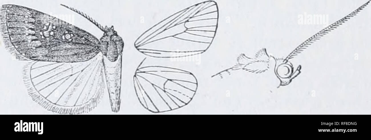 . Catalogue of Lepidoptera Phalaenae in the British Museum. Moths. Fig. 110.—Aincfrontia purpurea, J. %. Ilah. SoKOTEA, Hadibu Plain {O.-Grant), 1 rT type Afkica, Taveta {St. A. Uotjers), 1 S - Exp. 26 millim. Br. E. Genus ETHIOPICA, nov. Type, E. rinosa. Proboscis aborted, not fuuctional; palpi upturned, the 2nd joint reaching about to middle of irons and nuiderately fringed with hair, the 3rd joint short; frons smooth ; eyes large, rounded ; thorax clothed chiefly with scales, the pro- and metathorax with spreading crests; tibi;B smoothly scaled ; abdomen without crests. Fore wing with the a - Stock Image