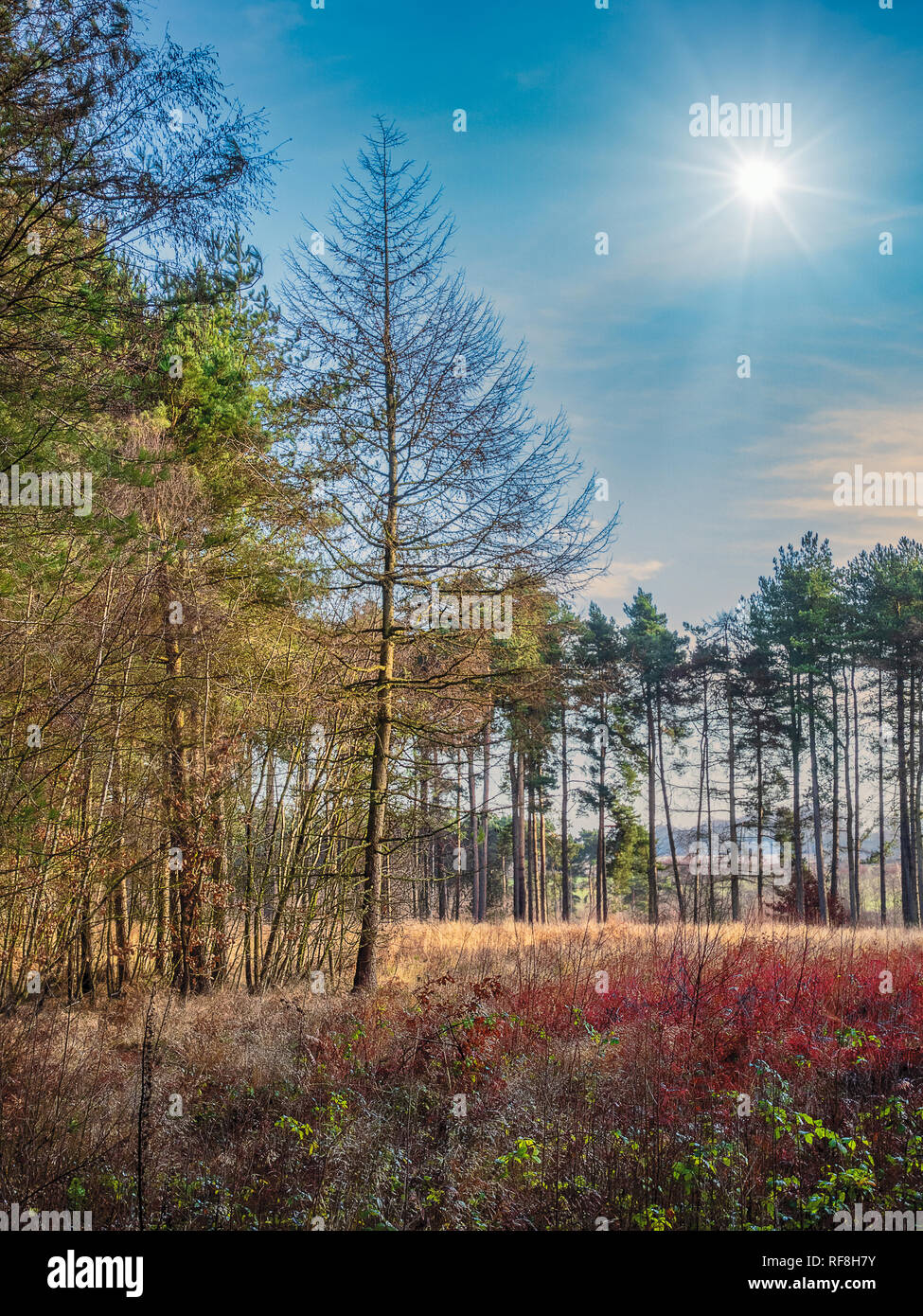 Early Winter at Thieve's Wood in Nottinghamshire - Stock Image