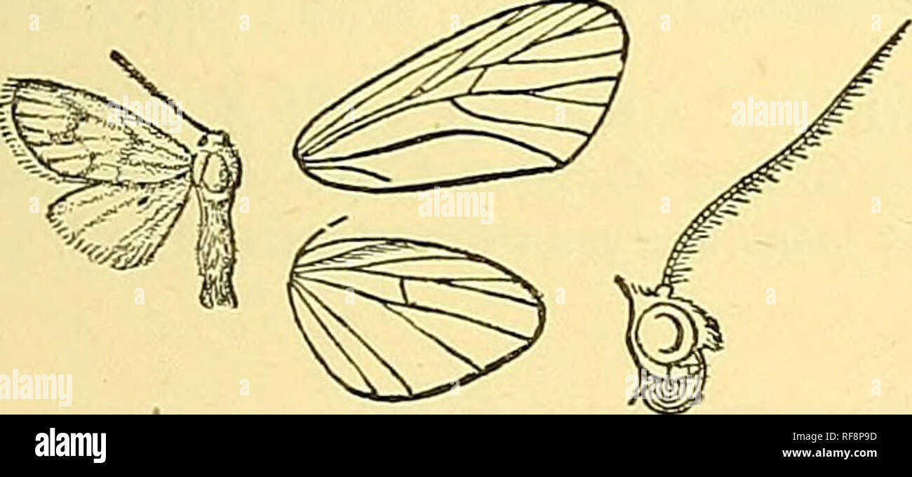 """. Catalogue of the Lepidoptera Phalaenae in the British Museum. Moths; Lepidoptera. THRE^^OSIA. LAMBDLA. 97 wing with the costa blackish towards base; a very broad terminal fuscous band occupying more than one-third of wing, not reaching - costa and with its upper edge concave. Hah. N. S. Wales, Bathurst, type t c5"""" in Coll. Meyrick. Exj). 34 millim. Genus GSAPHOSIA, nov. Type, G. hilineata. Probosds fully developed ; palpi porrect, not reaching as far as frons, which has a tuft of hair; antenna with bristles and ciUa; tibias with the spurs moderate; abdomen clothed with rough hair. Fore  Stock Photo"""