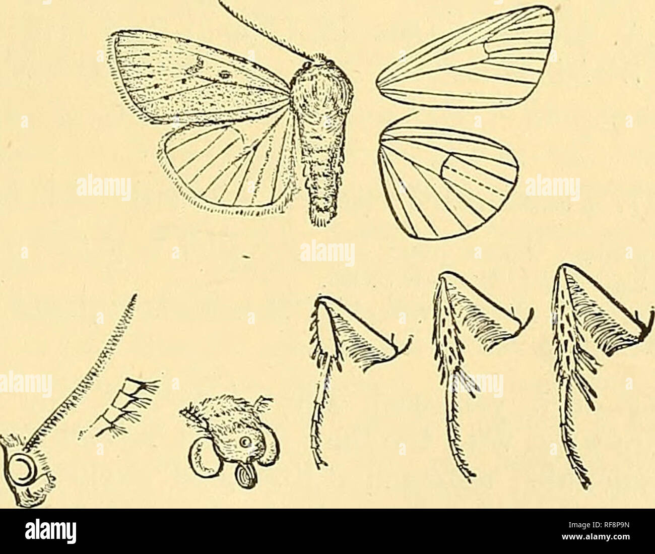 . Catalogue of the Lepidoptera Phalaenae in the British Museum. Moths; Lepidoptera. POEOSAGROXIS. 145 *254. Porosagrotis longidens. (Plate LIX. fig. 26.) Feltia longidens, Smith, Bull. U.S. Nat. Mus. 38, p. 217 (1890); id. Cat. Noct. N. Am. p. 81. 5 . Head and thorax brownish ochreous; tegula) with fine dark roedial line ; patagia with black line near upper edge ; tarsi blackish with pale rings ; abdomen ochreous white. Pore wing brownish ochreous ; the veins with dark streaks; the costa, submedian fold, cell, discal area, and a streak above vein 2 dark brown ; a blackish streak in submedian f - Stock Image