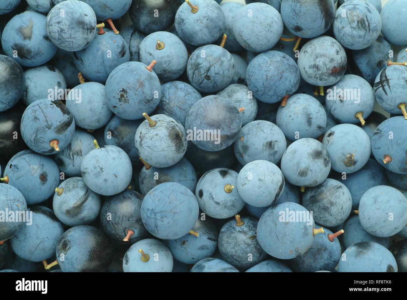 Produce, Blackthorns or Sloes (Prunus spinosa) - Stock Image