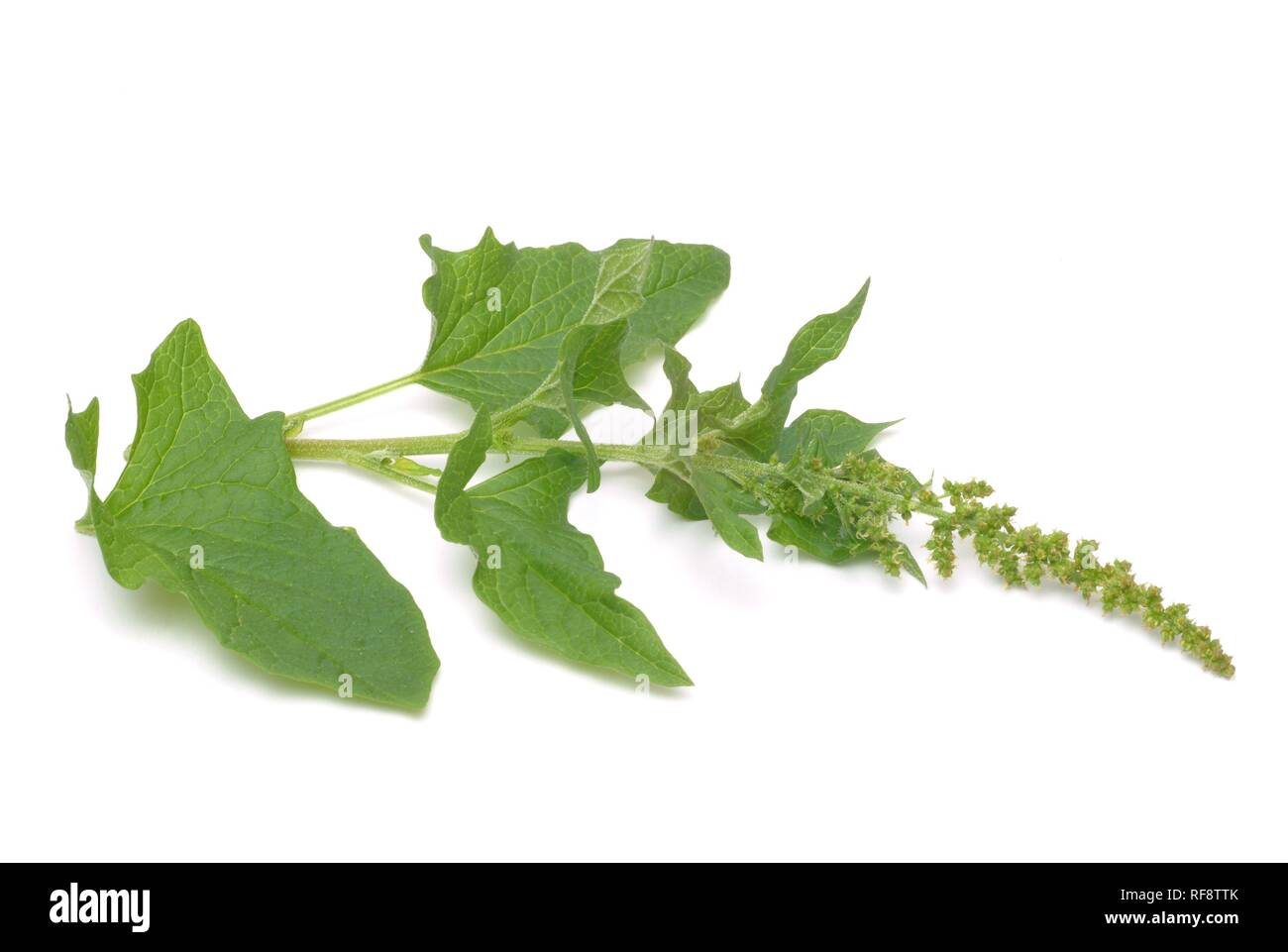 Good King Henry or Poor Man's Asparagus or Lincolnshire Spinach (Chenopodium bonus-henricus) - Stock Image