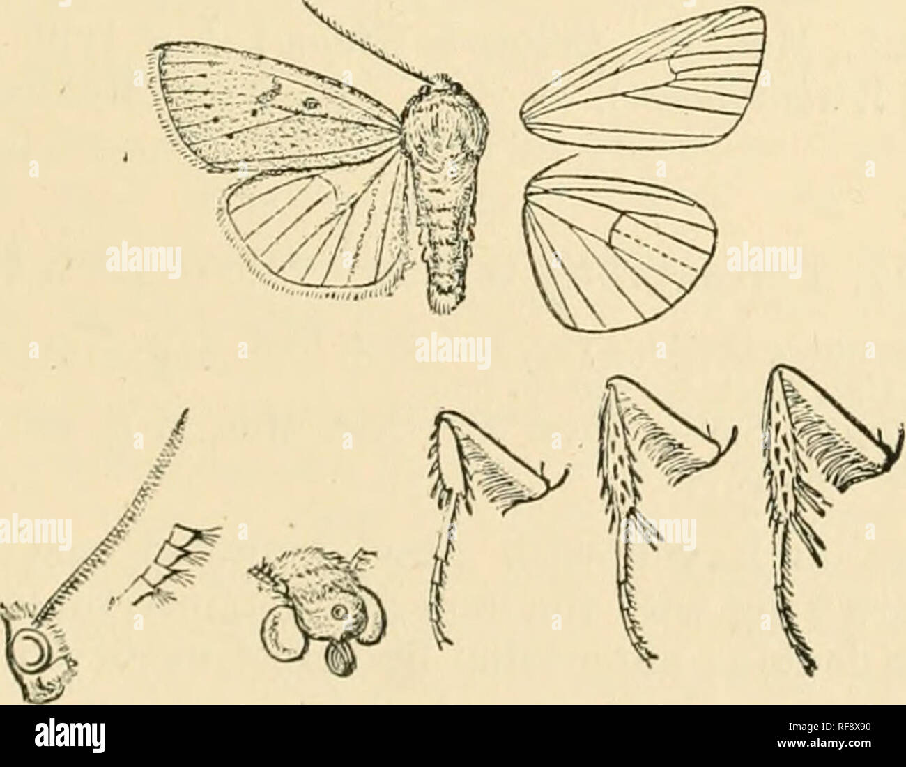 . Catalogue of Lepidoptera Phalaenae in the British Museum. Moths. rOPvOSAGROXlS. 145 *254. Porosagrotis longidens. (Plate LIX. fig. 20.) Feltia loni/idois, Smith, Bull. U.S. :S'at. Miis. 38, p. 217 (1890); id. Cat,. Noct. N. Am. p. 81. 2 . Head and thorax brownish ochreous; tegular with line dark luedial line ; patagia with black liue near up-|ier edge ; tarsi blackish with pale rings ; abdomen ochreous white. Fore wing brownish ochreous ; the veins with dark streaks; the costa, submeditni fold, cell, discal area, and a streak above vein 2 dark brown ; a blackish streak in submedian fold with - Stock Image