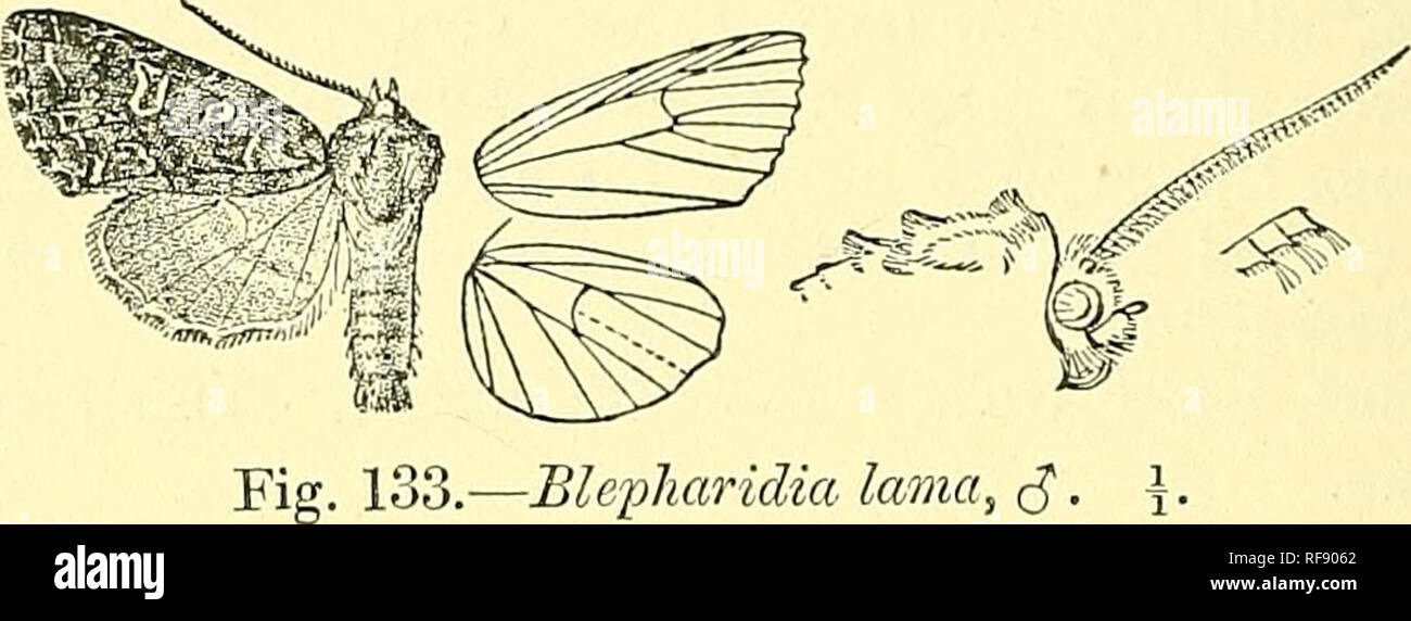 . Catalogue of the Lepidoptera Phalaenae in the British Museum. Moths; Lepidoptera. 398 srocxtiiD^. and indistinct diffused subterminal band ; the underside greyer with small discoidal lunula. Hab. Tibet, Kuku Noor, types t c? $ in Coll. Piingeler, Gyangtse {Walton), 1 d; Kashmie, Kuijar (McArthur), Id, 1 §. Exj^. 38 millim, 2584. Blepharidia lama. Heliophohus lama, Piing. Iris, xii. p. 293, pi. 9. f. 8 (1899); Stand. Cat Lep. pal. p. 177. c?. Head, thorax, and abdomen dark brown mixed with grey; tarsi with pale rings. Fore wing dark brown glossed with grey and slightly irrorated with whitish  - Stock Image