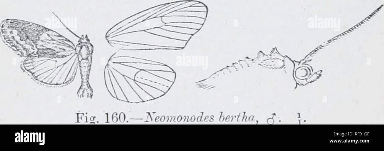 . Catalogue of Lepidoptera Phalaenae in the British Museum. Moths. 564 xocrriDj:. cosla and termen to vein 2 tinged witli hrown, a black discoidal spot and curved rather maculate postraedial line. Hah. Brazil, Sao Paulo (Z). Jones), type t 2 in U.S. Xat. Miis. Exp. 26 millim. Genus NEOMONODES, nov. Type, N. bertha. Proboscis aborted, minute ; palpi upturned, the 2nd joint: reacliin:^ vertex of head and slightly fringed with scales in front, the 3rd moderate; frous smooth; eyes large, round; antenna of male ciliated with tuft of hair in front of basal joint; tliorax clothed chiefly with scales, Stock Photo