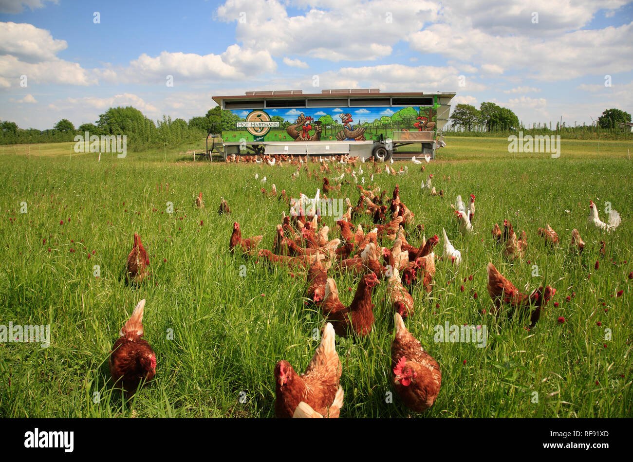 Free running chicken, Lüneburger Heide, Lower Saxony, Germany, Europe - Stock Image