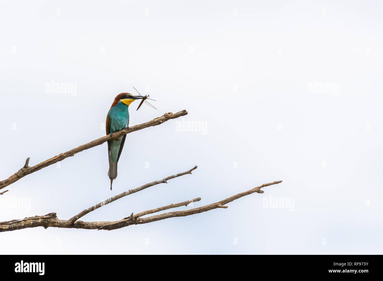 A European bee-eater (Merops apiaster) resting on a tree, dragonfly in beak, Austria Stock Photo