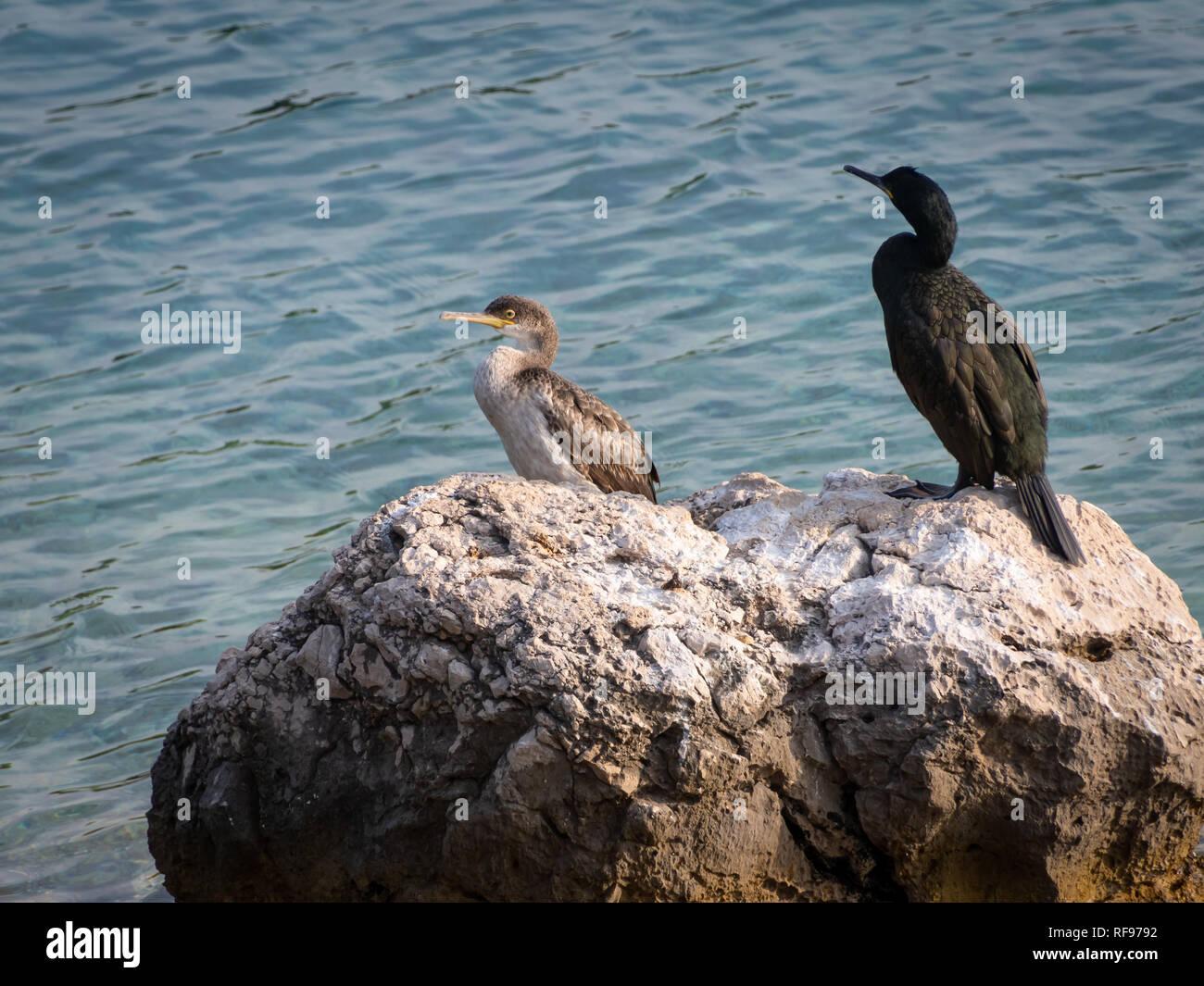 An immature and an adult common shag (Phalacrocorax aristotelis) sitting on a rock near the sea, Croatia - Stock Image