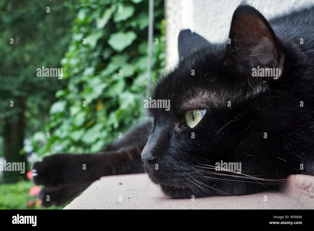 Black cat in relaxed pose - Stock Image