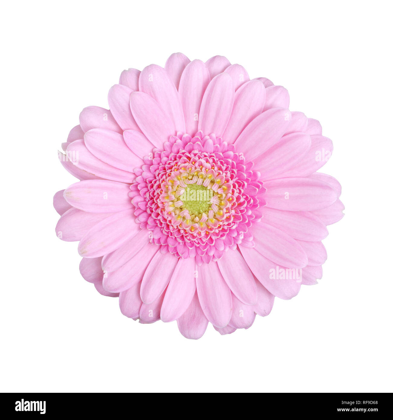 One gerbera flower isolated on white - Stock Image