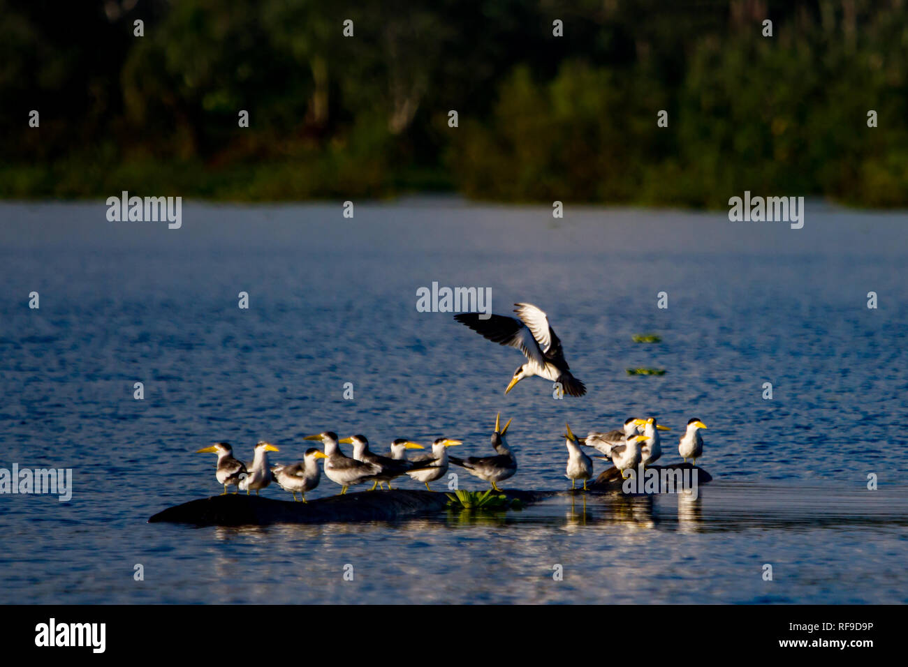 Large-billed terns, Phaetusa simplex, rest on a log in an oxbow lake in the Amazon region of Loreto, Peru - Stock Image