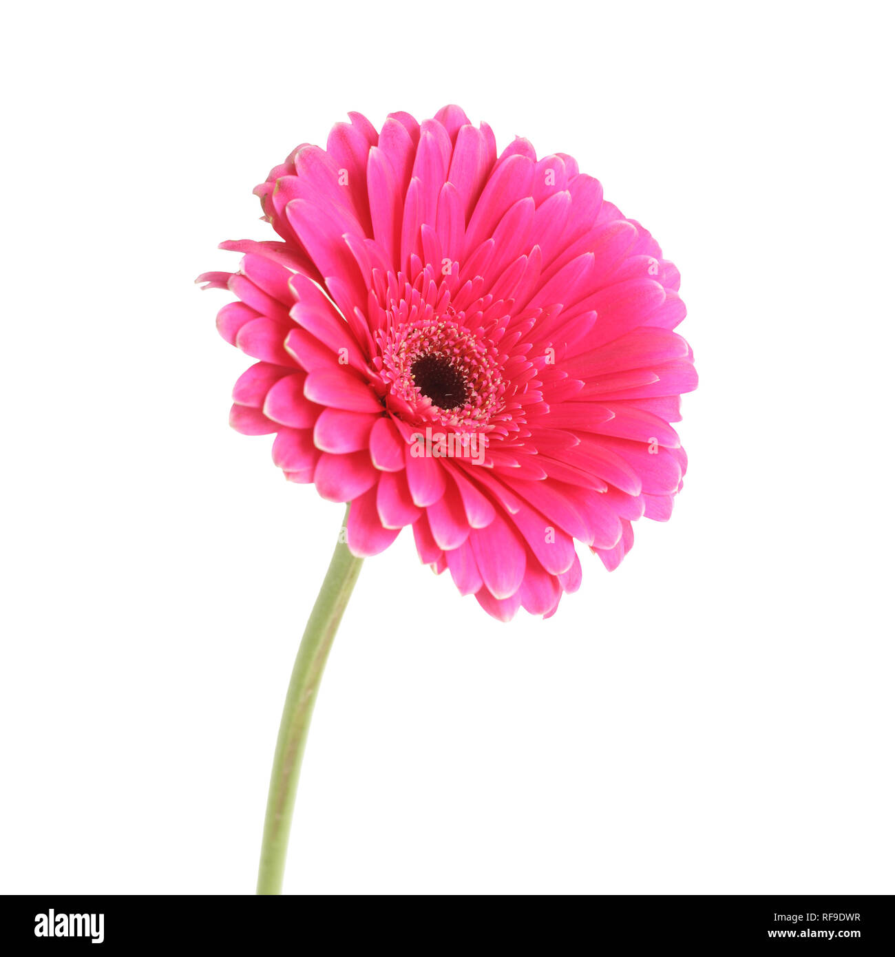 Pink gerbera flower, isolated on white - Stock Image