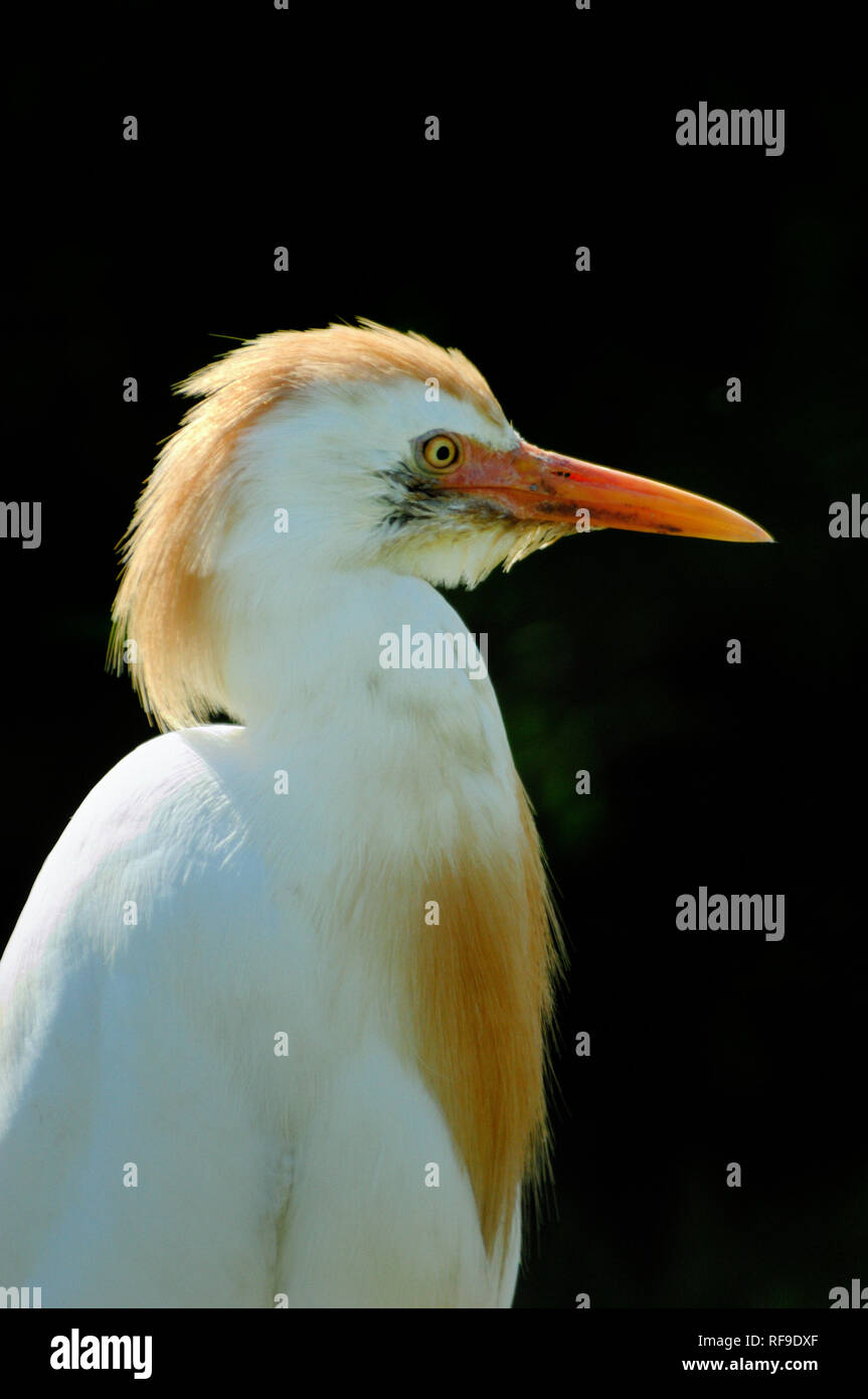 Portrait of a Cattle Egret, Bubulcus ibis, in the Camargue Region Provence France Stock Photo