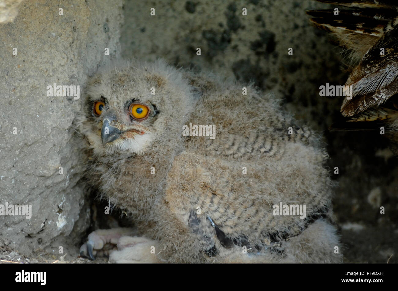 Eurasian Eagle Owl Chick, Bubo bubo, or Eagle-Owl Chick Camargue France - Stock Image