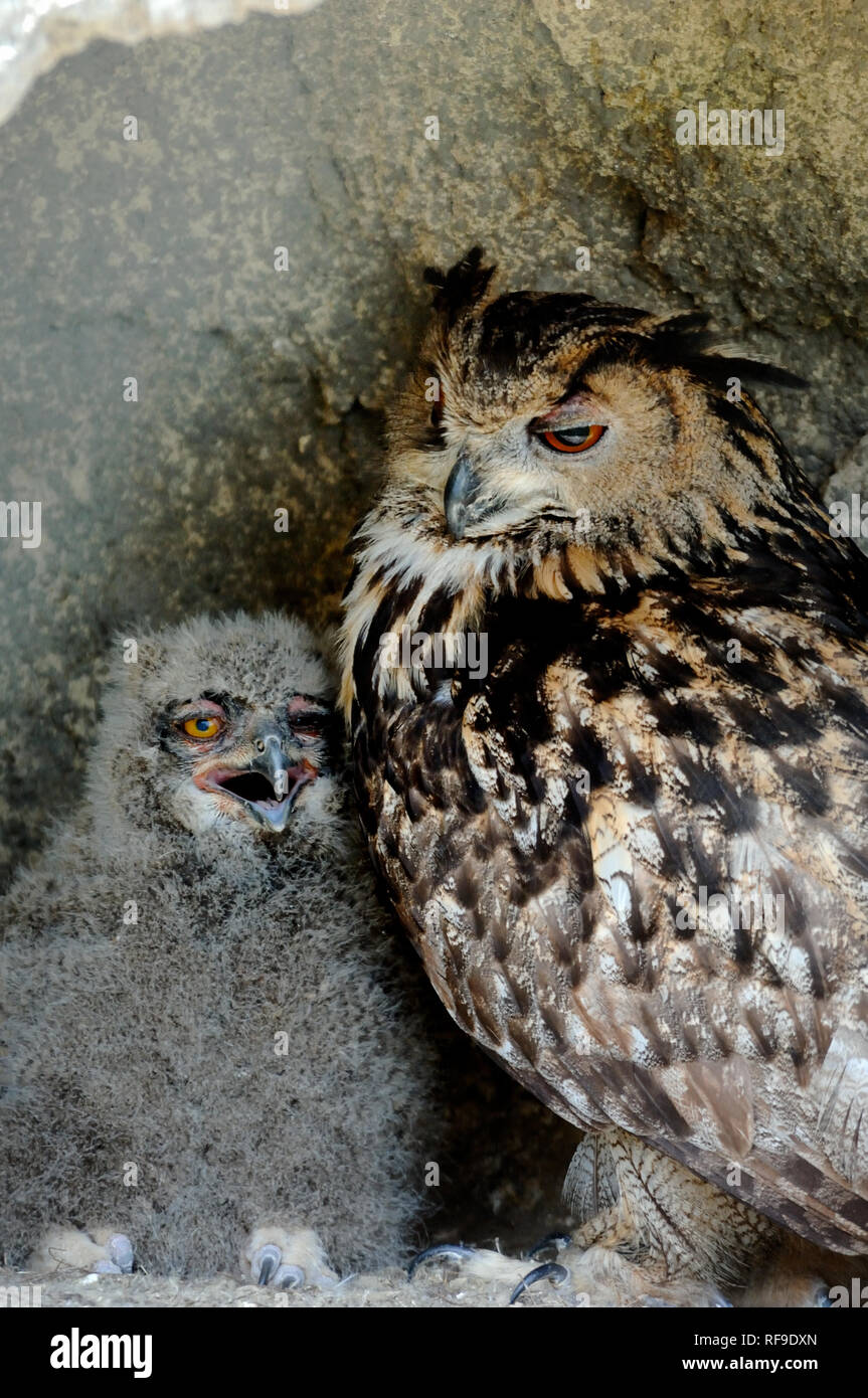 European or Eurasian Eagle Owl, Bubo bubo, & Chick Camargue Provence France - Stock Image