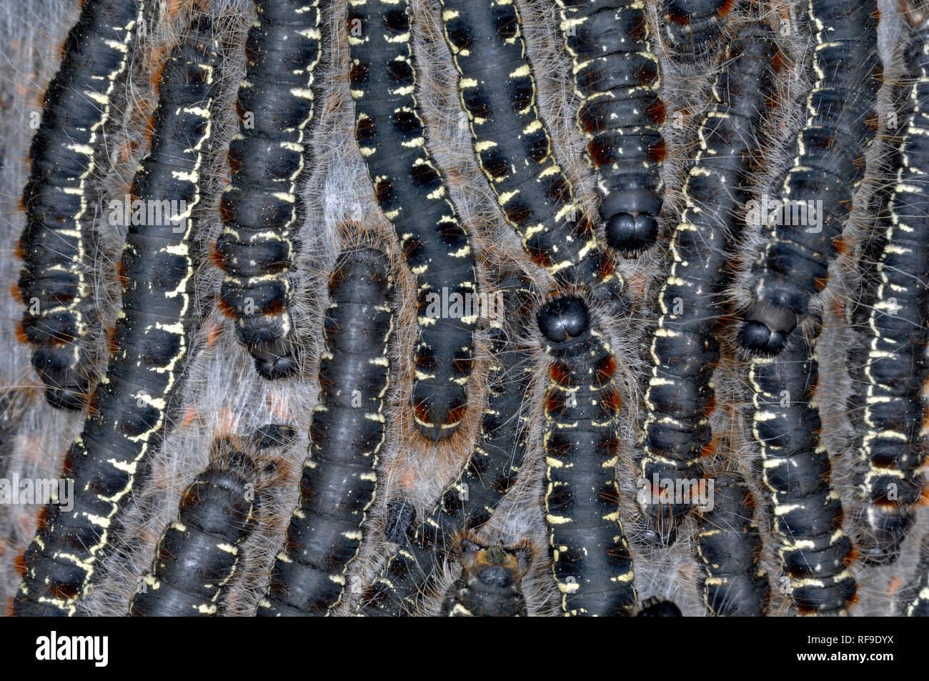 Group or Cluster of Pine Processionary Caterpillars of the Pine Processionary Moth, Thaumetopoea pityocampa - Stock Image