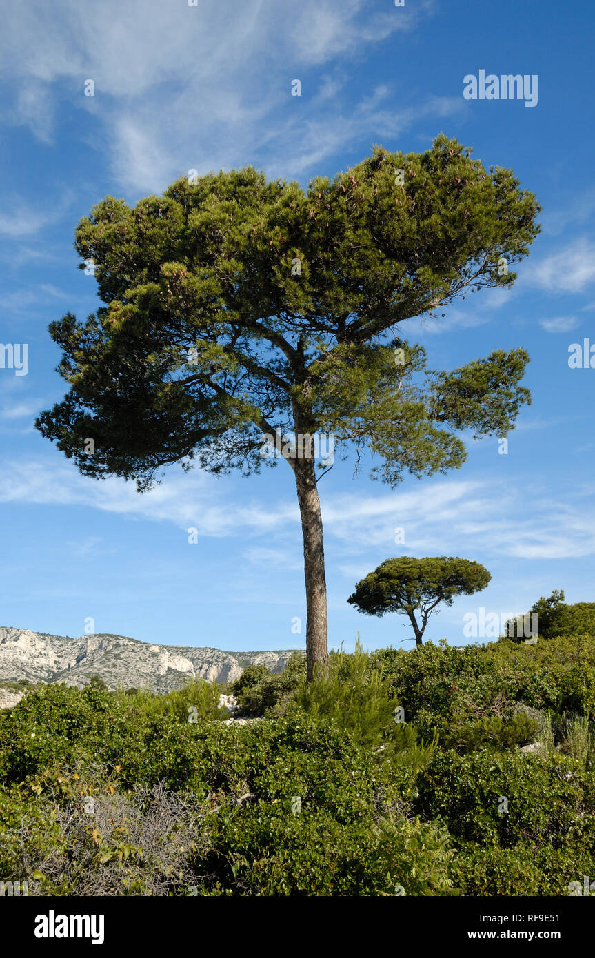 Pair of Stone Pines or Umbrella Pines, Pinus pinea, Above the Calanque d'En Vau & the Mediterranean Coast, Calanques National Park, Provence France - Stock Image