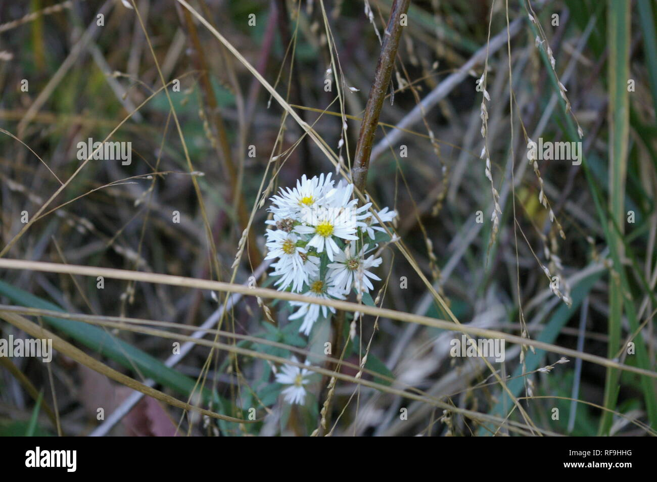 Small white prairie flower (Aster family) - Stock Image