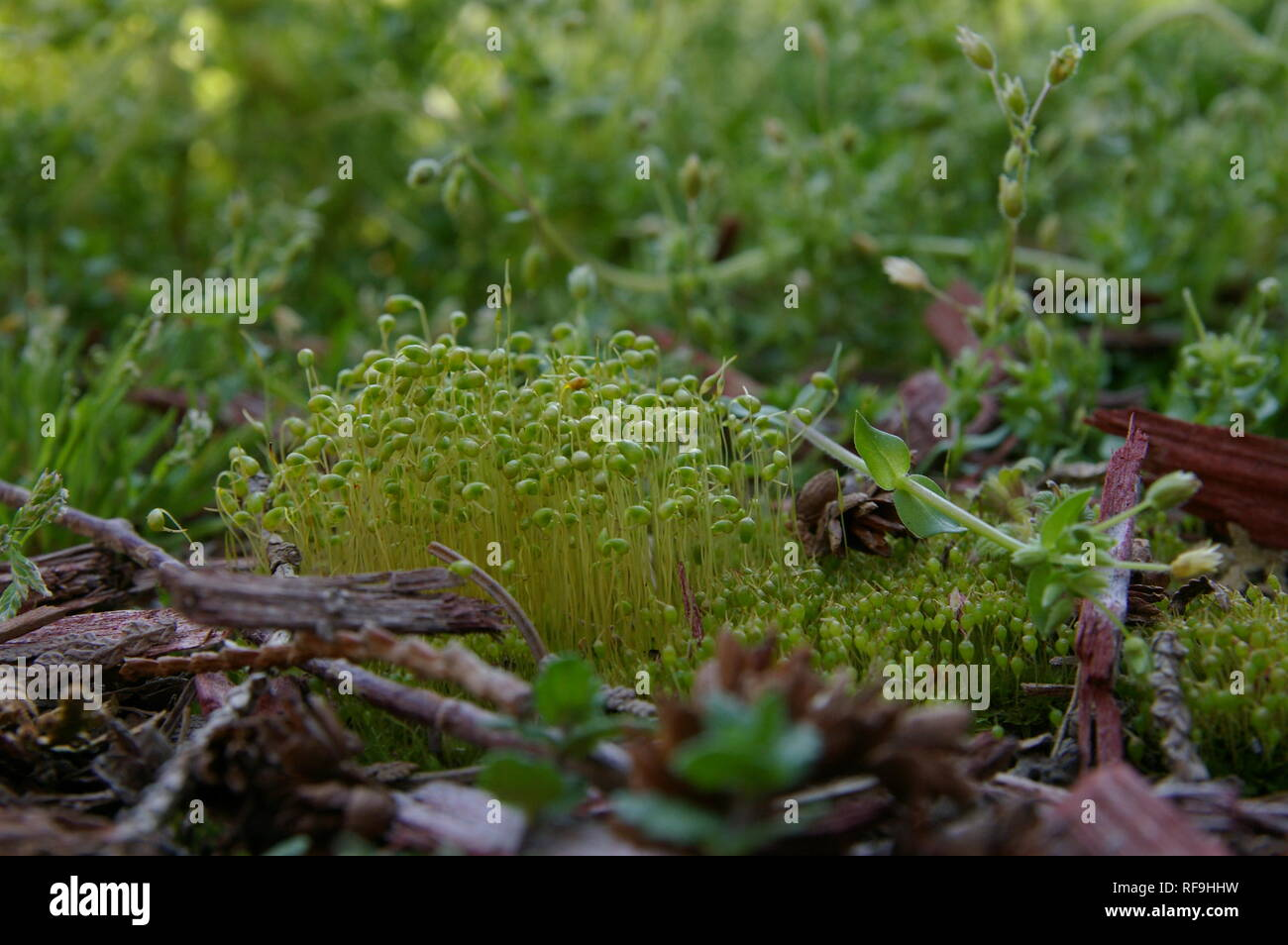 Moss with sporophytes in Indiana forest - Stock Image
