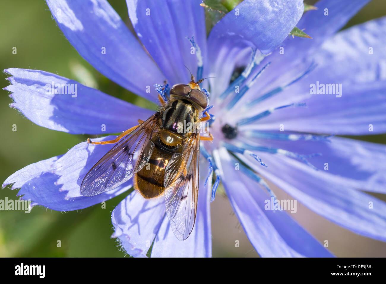 Gemeine Goldschwebfliege, Goldschwebfliege, Gold-Schwebfliege, Männchen, Blütenbesuch an Wegwarte, Ferdinandea cuprea, Sap-run Hoverfly, male - Stock Image