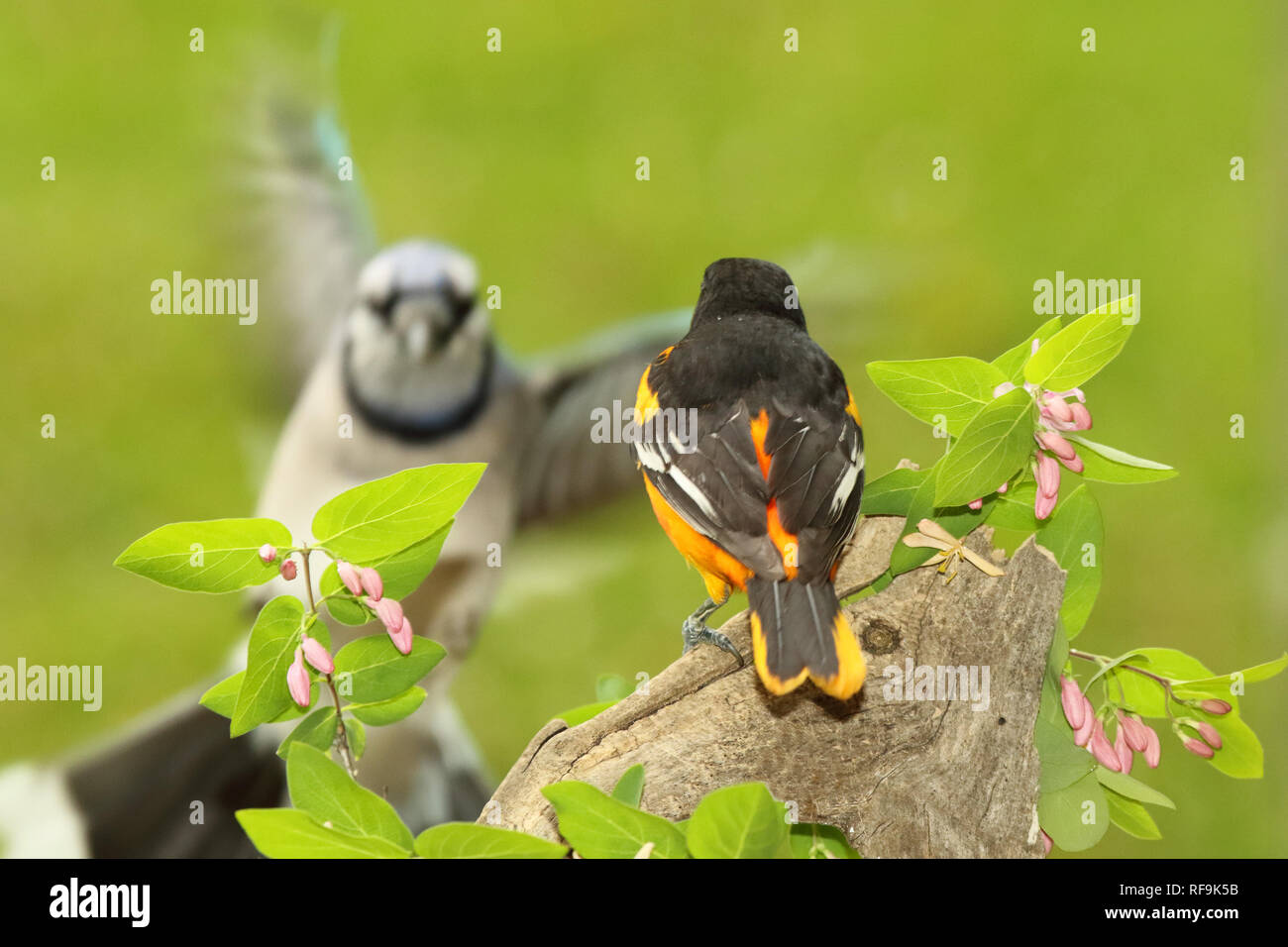 A Baltimore Oriole bracing for a Blue Jay flying in. Stock Photo