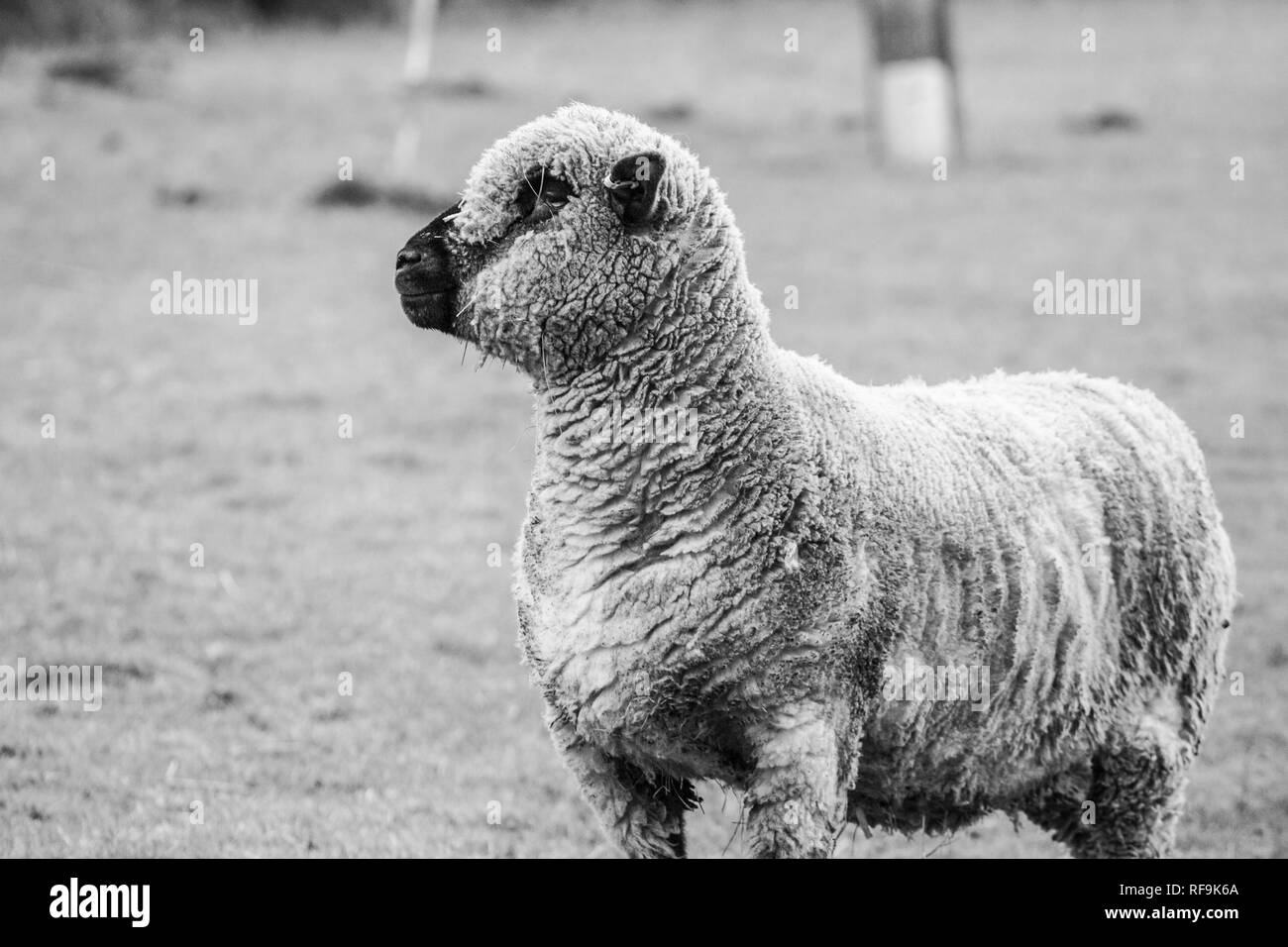 sheep standing in a field in black and white, sheep standing alone looking to the left hand side of the shot during the daytime, no people - Stock Image