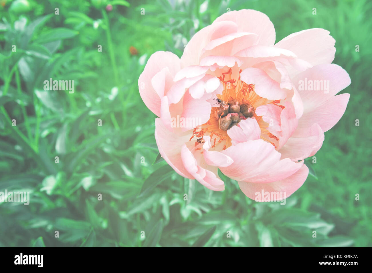 Gentle pink peony flower on a beautiful background. Spring theme. Copy space. - Stock Image