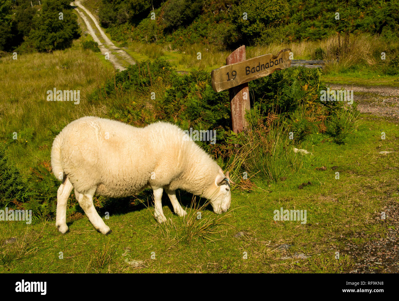 Sheep With Cosy White Fur Grazing In Front Of Streetsign To Badnaban In Scotland - Stock Image