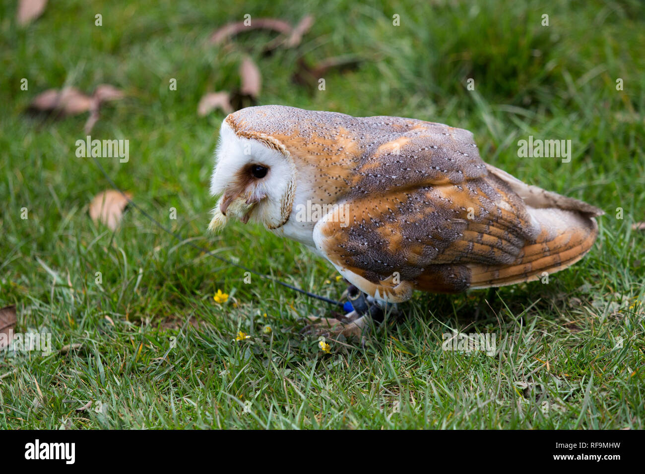 A captive Barn Owl stands on the Grass - Stock Image