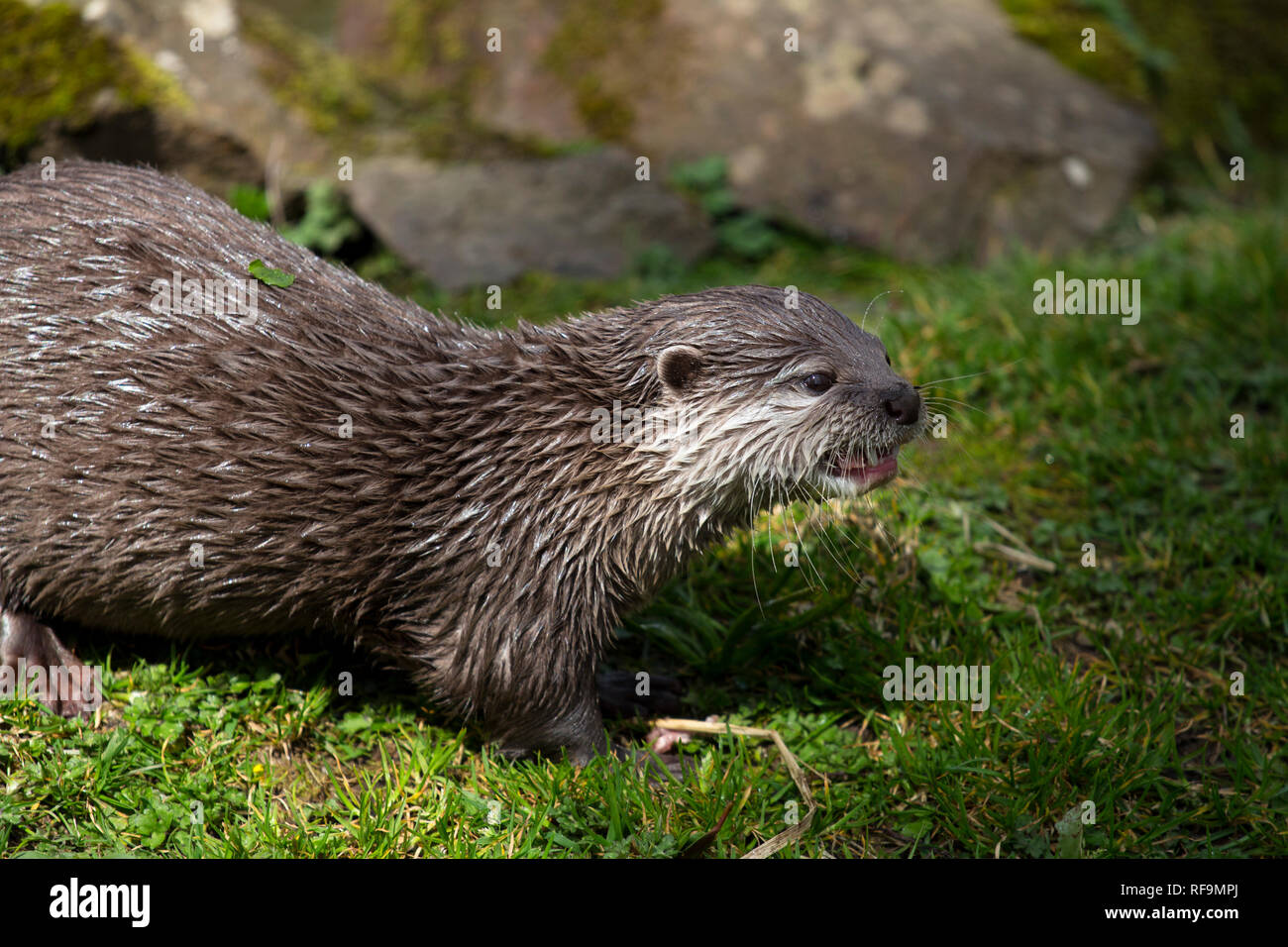 A Short Clawed Otters snarls at another Otter - Stock Image