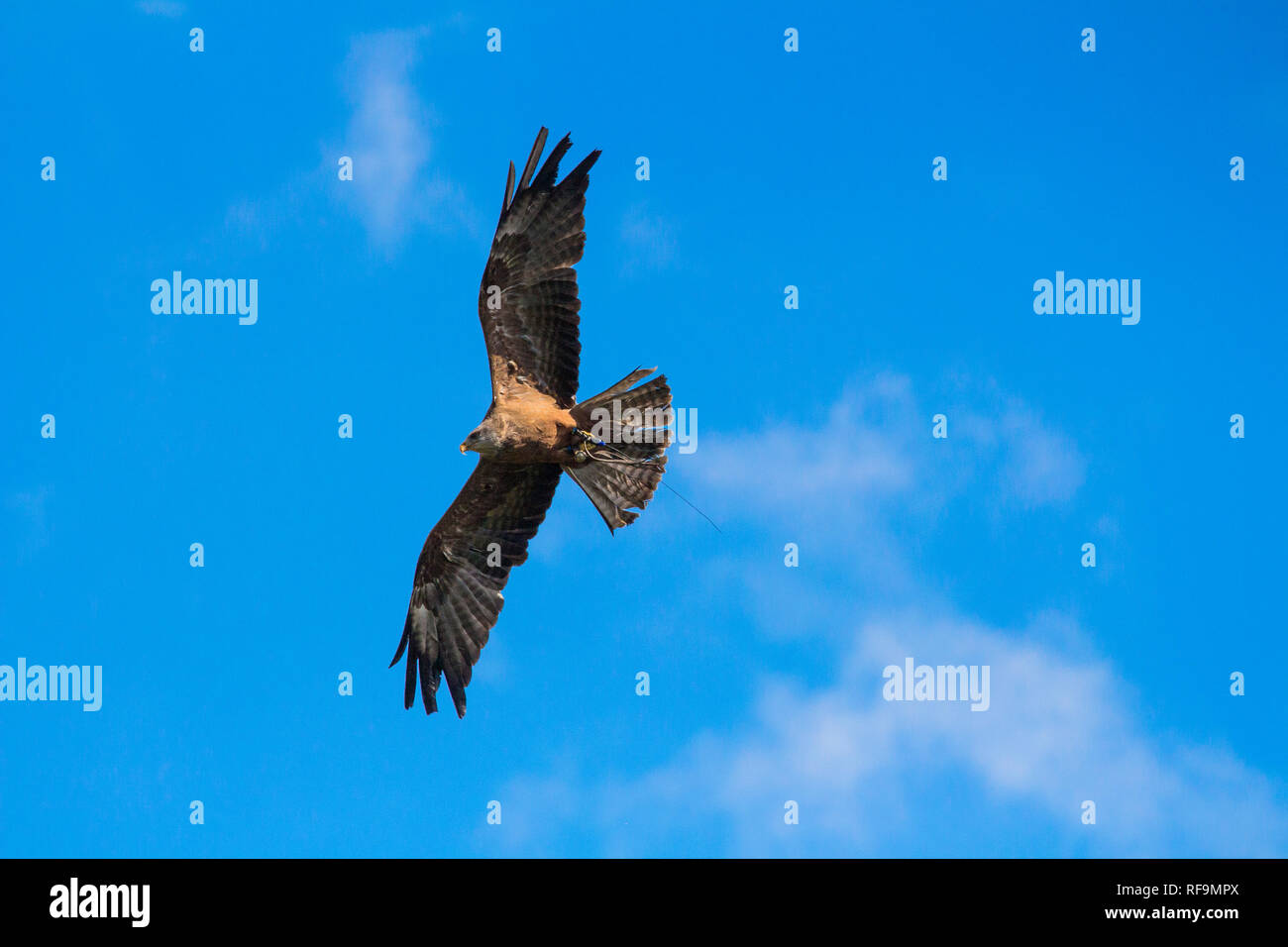 A Yellow Billed Kite flys a disply at Dartmoor Zoo - Stock Image