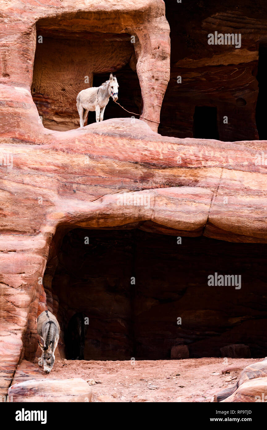 Two donkeys inside caves dug into a rock formation in Petra. - Stock Image