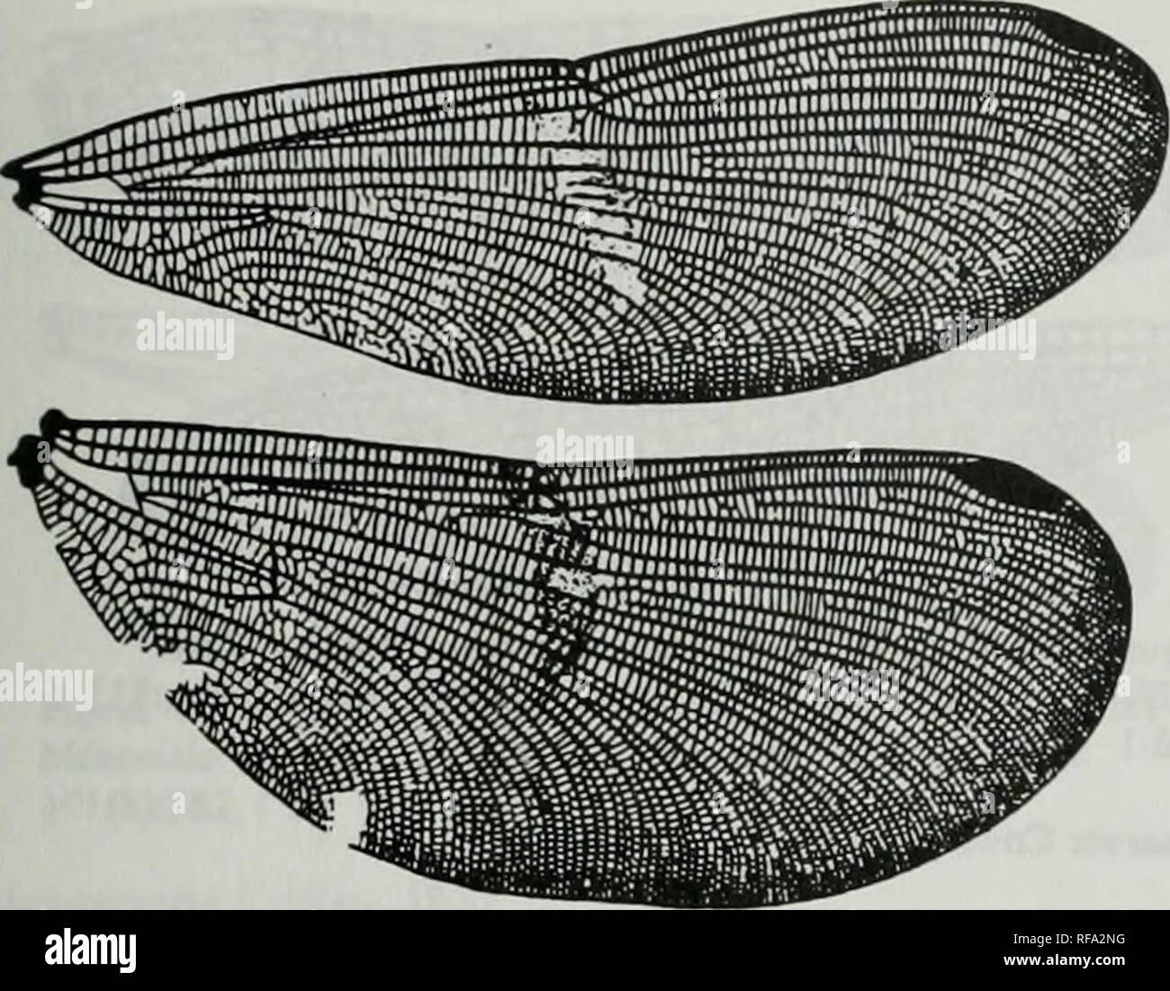 . Catalogue of the family-group, genus-group and species-group names of the Odonata of the world. Odonata; Odonata; Dragonflies; Dragonflies; Damselflies; Damselflies. Figures xm.5 Zyg:Cal:Cal:Calopteryginae (continued) SaphoSelys, 1853. Hgure 34. Wings of Sapho gloriosa MaLachlan (as Selys name). After Belyshev &. Haritonov, 1978. Detenniner of DiagonfUes :312. f246 [b069S] Umma Kirby, 1890. Please note that these images are extracted from scanned page images that may have been digitally enhanced for readability - coloration and appearance of these illustrations may not perfectly resemble - Stock Image