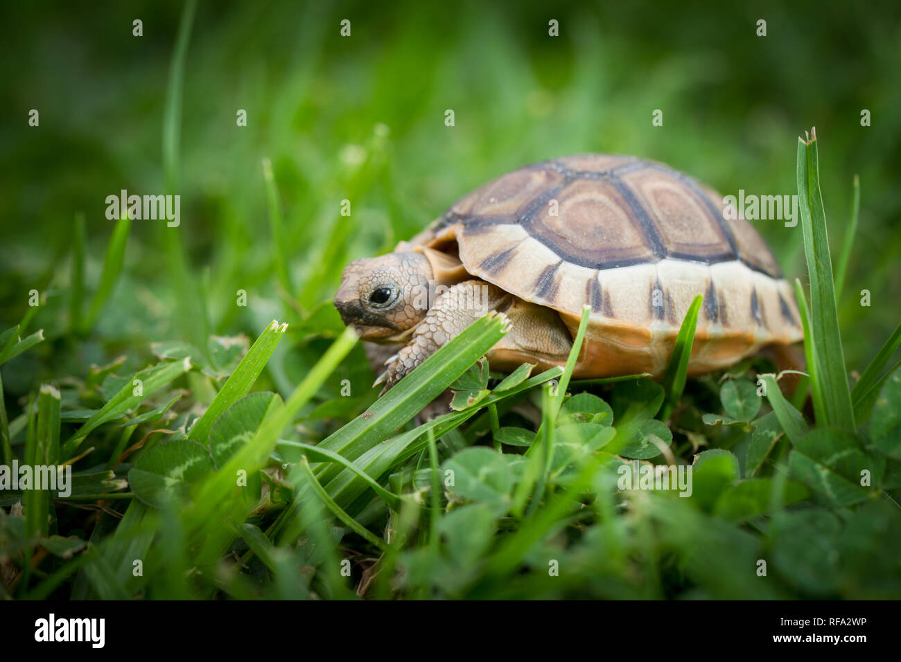 Angulate tortoises occur naturally in dry scrub habitats in the southwest  coastal areas of South Africa, but they are commonly kept as garden pets. - Stock Image