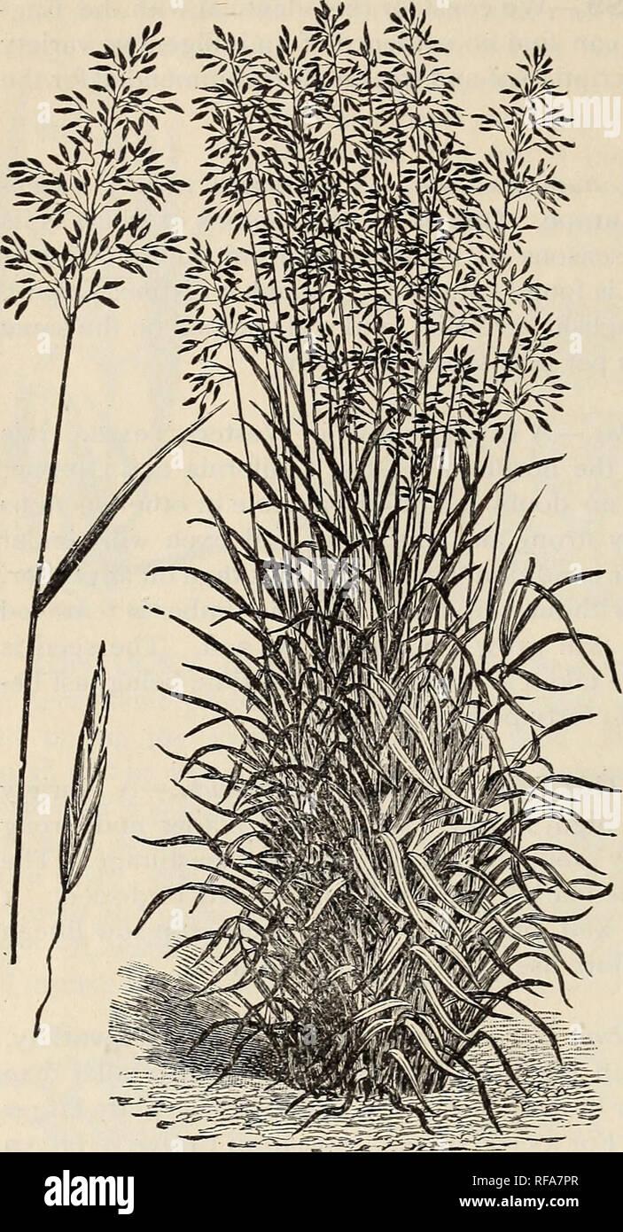 Kings Seeds Quaking Grass - 225 Seeds Grass Briza Maxima