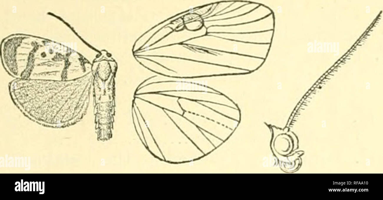 . Catalogue of Lepidoptera Phalaenae in the British Museum. Moths. CHIONiEMA. 307 5 . Fore wing without the fascia in cell; one black spot on disco- cellulars; the postmedial line slightly bent outwards at vein 4.. Fig. 222.— ChioncEma fasciola, (^. . Hah. CniifA, Chang-yang, Ichang, type t in Coll. Leech. Ex-p. 28 millim. 6^. Fore wing of male witbout tuft of long hair on underside. a^. Fore wing of male with oblique fringe of upturned bair on medial area below cell, the costal fringe very long ; the inner part of lobe very long, tbe outer small; vein 4 with its outer balf obsolete.. Please  - Stock Image