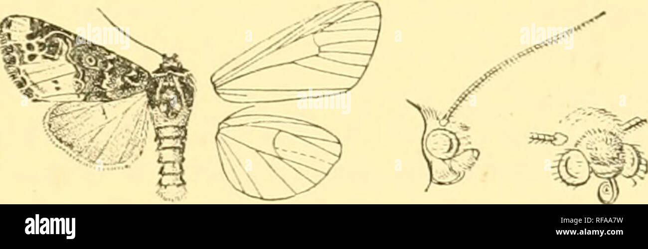 . Catalogue of the Lepidoptera Phalænæ in the British museum. Moths. POLYTELODES. 455 curved ; veins 3 and 5 from near angle of cell; fi from upper angle ; 9 from 10 anastomosing with 8 to form the areola; 11 from cell. Hind vs^ing with veins 3, 4 from angle of cell; 5 obsolescent from just below middle of disoo- cellulars; 6, 7 from upper angle or shortly stalked ; 8 anastomosing with the cell near base only. 1800. Polytelodes florifera. Polytelaflonfera, Wlk. xv. 1666 (1858). Head and thorax blue-black ; palpi orange, with black bands on Ist and 2nd joints ; lower part of frons, patches roun - Stock Image