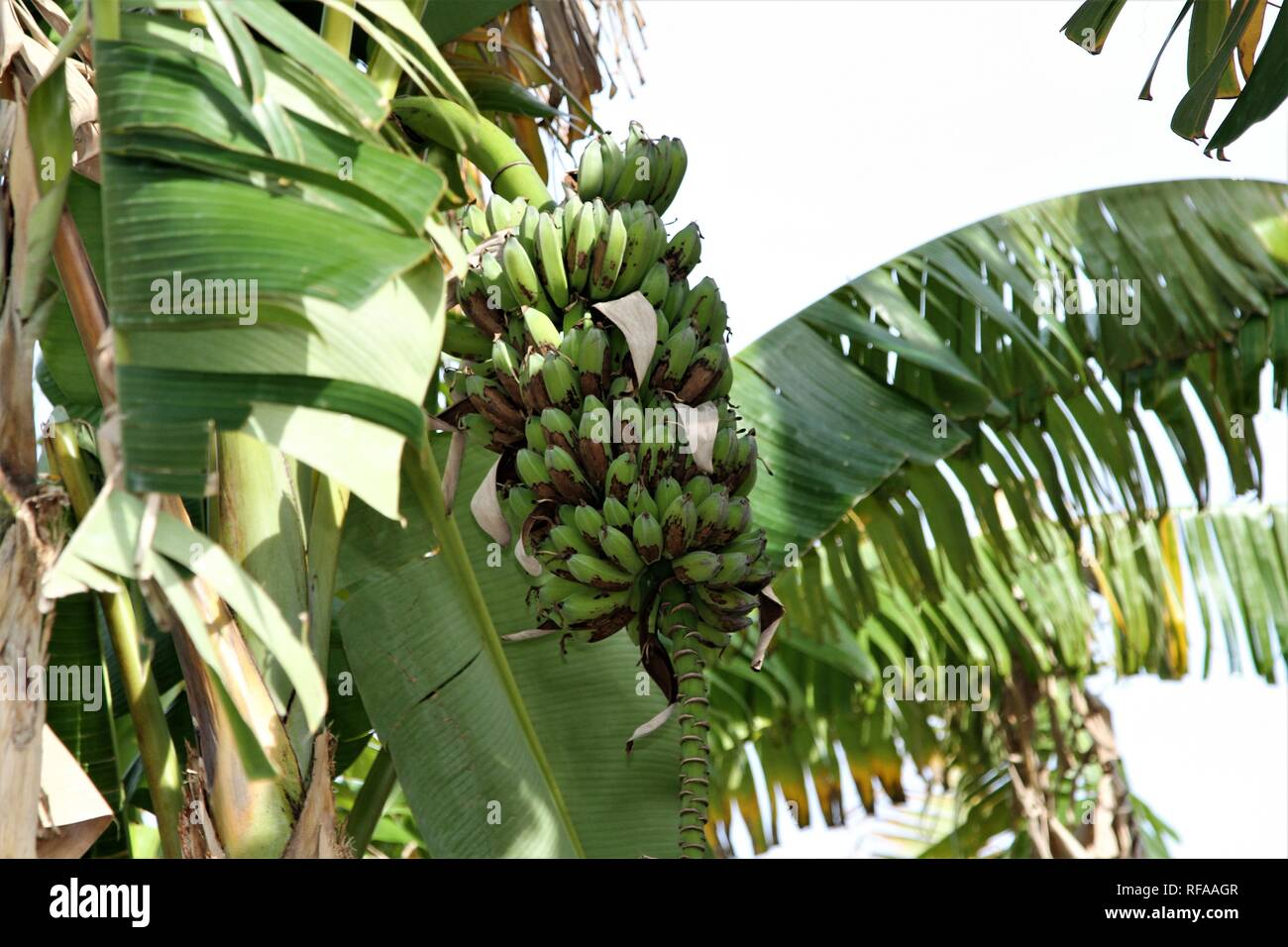Fresh bananas growing on a tree - Stock Image