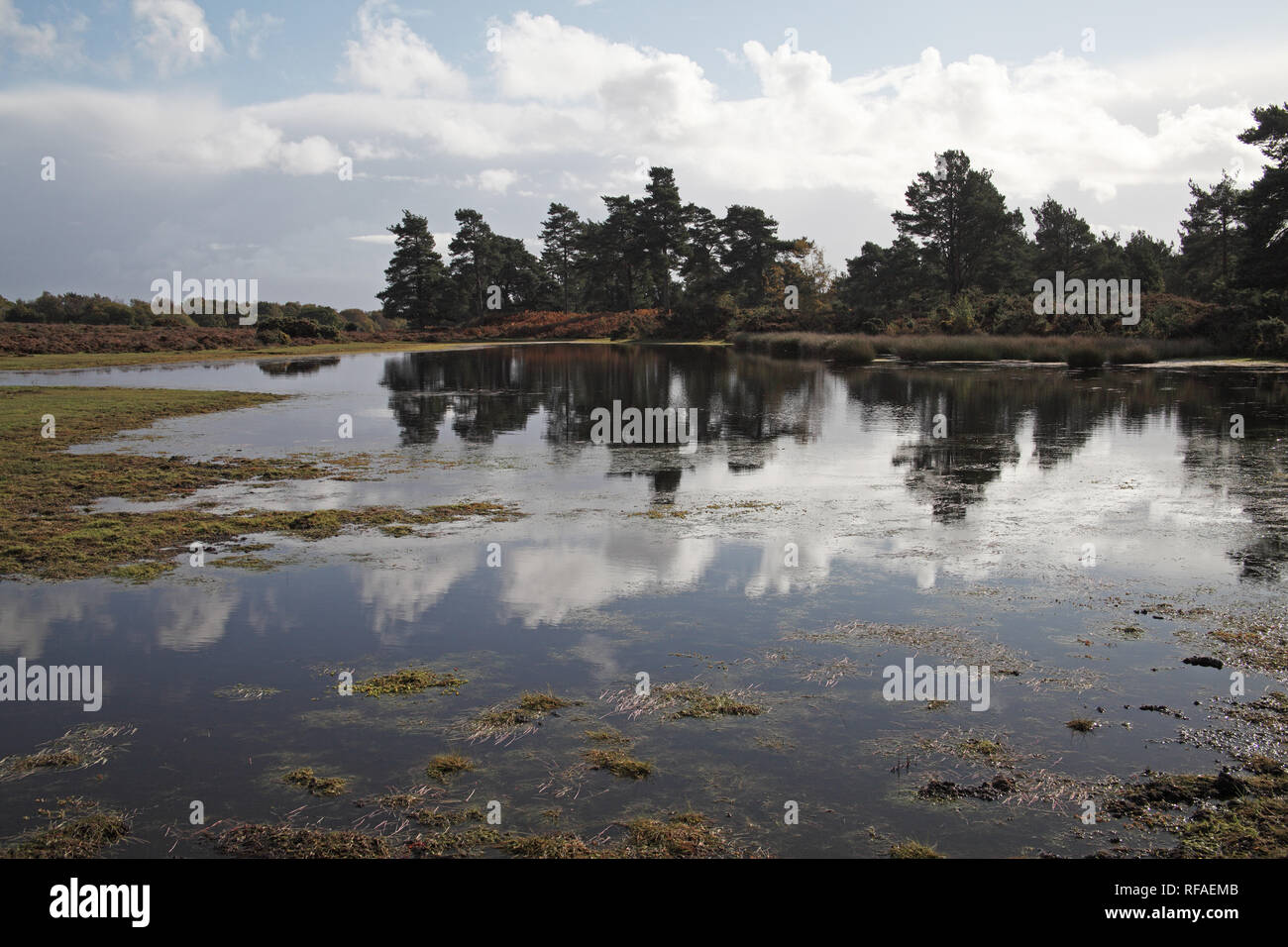 Scots pine Pinus sylvestris trees reflected in Long Pond Cranes Moor National Nature Reserve New Forest National Park Hampshire England UK - Stock Image