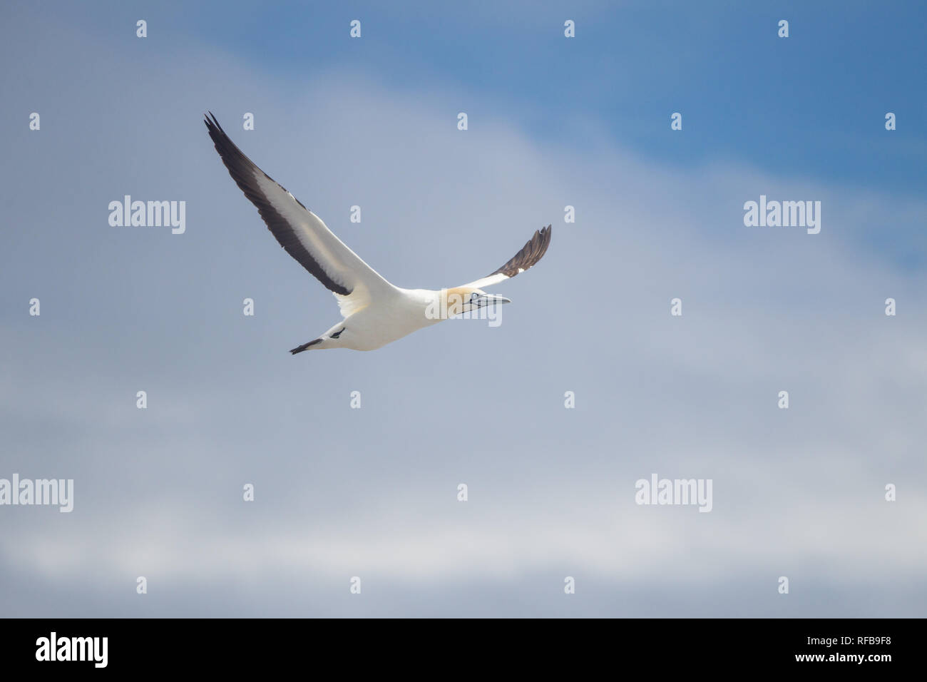 Bird Island Nature Reserve in Lambert's Bay, Western Cape Province, South Africa, is an important breeding site for seabirds, especially Cape gannets  - Stock Image