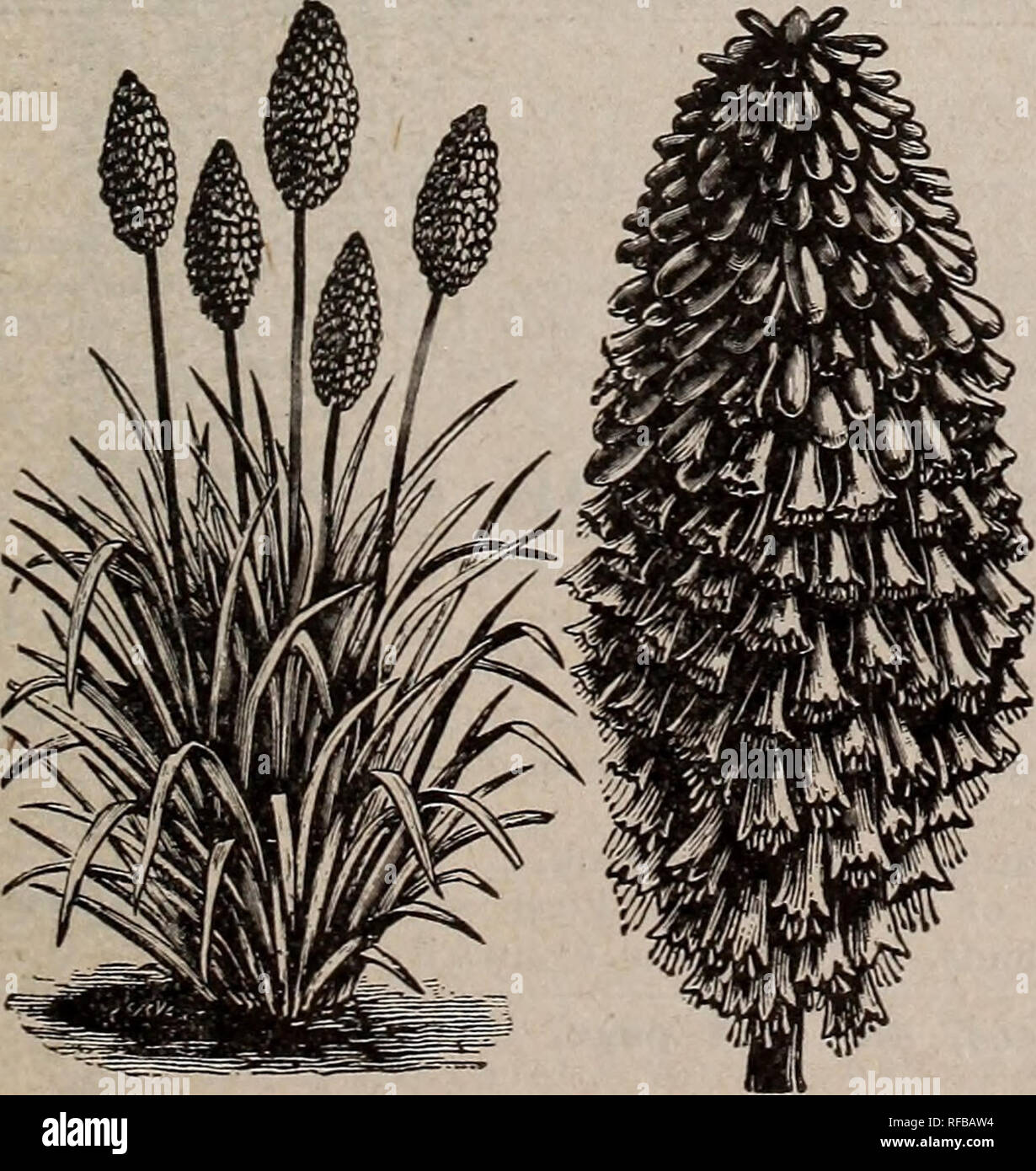 . Catalogue 1913 : seeds, bulbs, shrubs. Seeds Catalogs; Vegetables Seeds Catalogs; Flowers Seeds Catalogs; Fruit Seeds Catalogs; Nurseries (Horticulture) Catalogs. HARDY PHLOX SWEET WILLIAM (Dianthus Barbatus) These old-fashioned favorites have always been one of our most prized border .plants. They look well in large clumps. There is a great variety of rich colors, and the flowers are very fragrant. Our plants are grown from a very select strain of seed. Each, 15c; doz., $1.50. TRITOMA (Flame Flower or Torch Lily) Splendid summer and fall-flow- ering plants, with stately flower scapes and ma - Stock Image